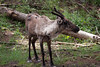 Woodland Caribou (Krystal.Hamlin) Tags: caribou deer mammal creature forest docile animal wildlife washington