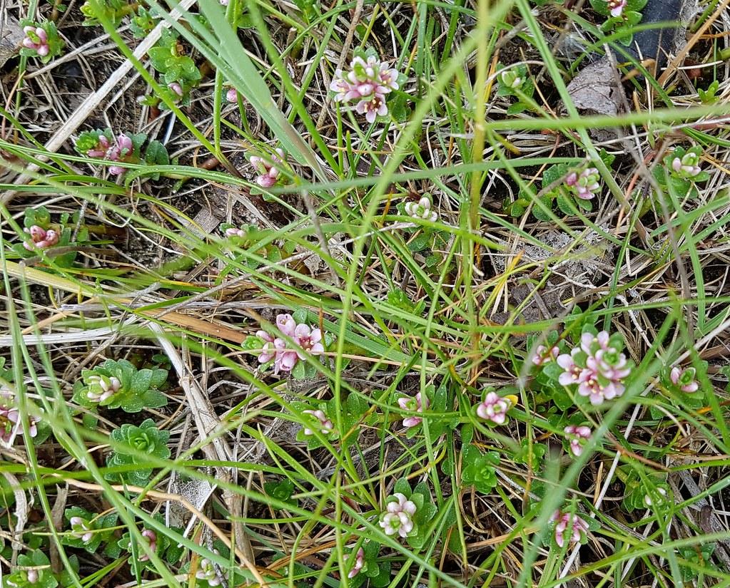 unid. saltmarsh plant