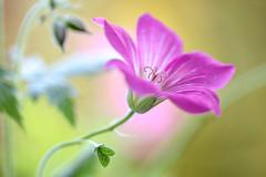 Cranesbill (Mandy Disher) Tags: hardygeranium cranesbill summer garden flower floral flora pink closeup