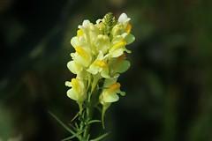Wild Flower (Hugo von Schreck) Tags: hugovonschreck flower blume blüte macro makro wildblume wildflower canoneos5dsr tamron28300mmf3563divcpzda010
