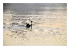 Shine (Greenstone Girl) Tags: black swan light ripples luminous serneity pond