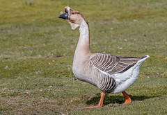 DSC2495  African Goose... (jefflack Wildlife&Nature) Tags: africangoose goose geese parks parklands birds avian animal animals wildlife wildbirds waterbirds wildfowl countryside nature