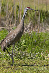 Sandhill Crane (Stephen J Pollard (Loud Music Lover of Nature)) Tags: bird ave sandhillcrane grullagris antigonecanadensis
