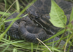 Eastern Massasaauga Rattlesnake (Nick Scobel) Tags: eastern massasauga rattlesnake sistrurus catenatus michigan rattler venomous snake pattern texture shed ecdysis