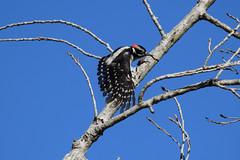 Downy Woodpecker at Huntington Beach Central Park, CA (OC Hiker) Tags: huntingtoncentralpark 06092018 orangecounty california afsdxnikkor55300mmf4556gedvr nikond5300 birds downywoodpecker picoidespubescens