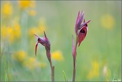1979 (Luciano Silei - sky7) Tags: serapias serapiasvomeracea wildorchid orchid bokeh canon7d tair11a zenit manualfocus oldlens vintagelens m42 lucianosilei