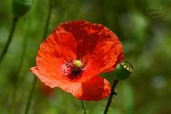 Red and green (MaiGoede) Tags: mohngewächse schlafmohn colours flora makro macro nature natur natura naturfoto plants poppy schärfentiefe outdoor bokeh summertime summer summermood sunny sonnig nikon