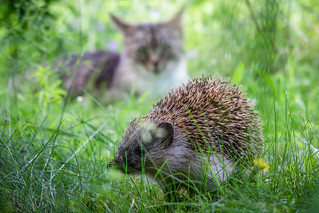 Hedgehog vs Cat
