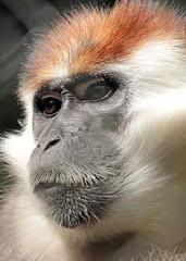 redcap mangabey Apenheul BB2A9177 (j.a.kok) Tags: mangabey redcapmangabey roodkopmangabey animal aap africa afrika mammal monkey mensaap primate primaat zoogdier dier apenheul