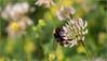 LR7-PGH59522 (JB89100) Tags: 2018 bourdons insectes stmartindt ou quoi