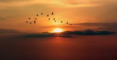 Sunset (Dragan*) Tags: seagull bird animal flying flock sunset sunlight cloud nature outdoor sky serene silhouette wings