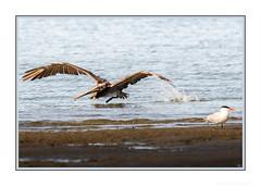 Let's see if my next trick gets her attention! (JohnKuriyan) Tags: alameda california elsie roemer bird sanctuary brown pelican caspian tern