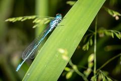 Azure damselfly (Steve Ln) Tags: azuredamselfly brandonmarsh coenagrionpuella damselfly male
