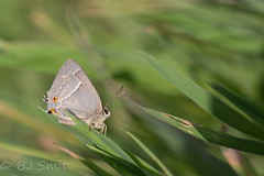 Purple Hairstreak / eikenpage (Favonius quercus) (BJSmit) Tags: oirschot noordbrabant netherlands favoniusquercus favonius quercus purplehairstreak purple hairstreak eikenpage page blauereichenzipfelfalter eichenzipfelfalter
