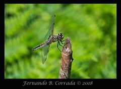 Four-spotted Skimmer (8035) (fbc57) Tags: sigma180f28apomacroexdgos nikond850 vermont bristol beavercreek libellulidae skimmers dragonflies anisoptera fourspottedskimmer libellulaquadrimaculata