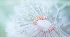 Gone with the wind (marcmyr) Tags: flower dandelion summer spring warm nikon d610 macro soft dreamy bokeh nature natur 90mm