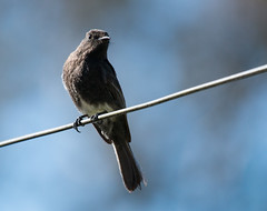 IMG_5735  Black Phoebe (ashahmtl) Tags: blackphoebe flycatcher phoebe sayornishigricans boquete chiriquiprovince panama