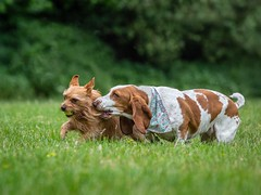 Get Off (Chris Willis 10) Tags: debbieashcroft dog pets animal purebreddog cute puppy canine brown mammal grass hound friendship domesticanimals outdoors looking sitting small bassethound beagle fun porkie