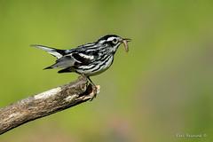 Something's bugging me (Earl Reinink) Tags: bug worm macro bird animal songbird warbler earl reinink earlreinink nature outside outdoors blackandwhitewarbler zaadaardza wood