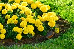 Bird 1 (TheseusPhoto) Tags: marigolds flowers bird nature naturephotography natureporn colors beautyinnature colorsoftheworld