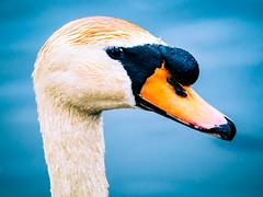 Swan close-up (Marc Rauw.) Tags: swan bird waterbird beauty nature fauna animal wildlife wild water closeup eye watching landsmeer netherlands holland thenetherlands blue orange olympusomdem5markii olympus omd em5 mzuiko40150mm mzuiko 40150mm microfourthirds m43 μ43 portrait