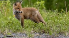 Fox kid (G E Nilsen) Tags: fox kids northernnorway forest nordland norway no
