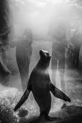 A Star was born (Elke Kulhawy) Tags: sealion zoo bw bnw monochrome blackandwhite animal art kunst wasser water behindtheglass reflektion tier