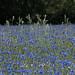 Cornflower Field (WernerKrause) Tags: cwwwwernerkrauseeu 2018 mohn poppies cornflowers kornblumen köln cologne landscape landschaft sommer summer deutschland germany explore226
