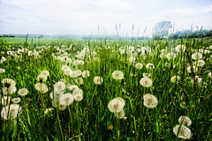 Fluffy (Rhubus) Tags: green grass dandelions seeds weeds fragile haze field meadow arable hay england summer uk