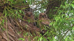 Great horned owlets in the wild.( Video ) (Mel Diotte) Tags: video great horned owl owlets wild natur raptor eyes trees birds baby babies wing winged mel diotte nikon explore