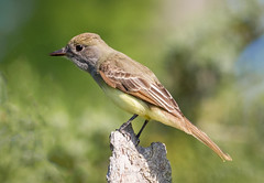 Great Crested Flycatcher (tresed47) Tags: 2016 201605may 20180524bombayhookbirds birds bombayhook canon7d content delaware flycatcher folder greatcrestedflycatcher may peterscamera petersphotos places season spring takenby us