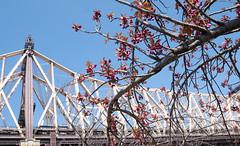 Roosevelt Island (vpickering) Tags: newyorkcity bridges queensborobridge cherryblossoms rooseveltisland bridge cherryblossom