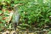 Bicknell's Thrush (J.B. Churchill) Tags: bith bicknellsthrush birds colesville maryland montgomery places taxonomy thrushes silverspring unitedstates us