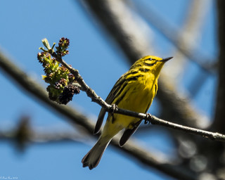 Prairie Warbler [Setophaga discolor] (Explored)