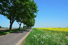 Rapsfeld in der Zeteler Marsch (berndwhv) Tags: raps rapsfeld road countryroad strase street country bäume trees landschaft landscape landschap paysage deutschland norddeutschland niedersachsen landkreisfriesland zetel zetelermarsch weg