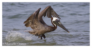 Brown Pelican (Pelecanus Occidentalis) BRPE - Take off with a splash (Best seen large)