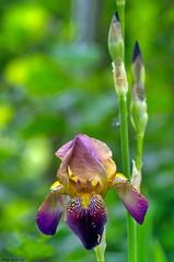 Eclosion florale (Phil du Valois) Tags: fleur lys