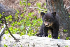 Black bear cub (WhiteEye2) Tags: yellowstone park yellowstonenationalpark blackbearcub blackbear wildlife nature cub babyanimals cute adorable usa