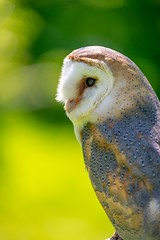 Barn owl (http://www.paradoxdesign.nl) Tags: barnowl owl uil eule roofvogel bird prey animal beautiful