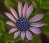 Osteosperium (MV Photography (900,000 + Views)) Tags: canon 7d nature flower flora petals osteosperium dof macro