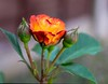 Rose garden (williams.stuart72) Tags: rose garden nikond3300 sigma1750 orange thorns floral flower flowers bud photography naturallight