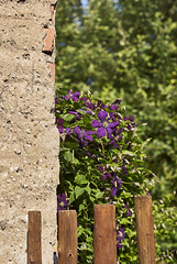 (Oliver Zimmermann) Tags: barrier beautyinnature boundary closeup day fence flower floweringplant focusonforeground fragility freshness greencolor growth nature nopeople outdoors plant purple vulnerability woodmaterial woodenpost