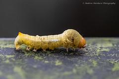 Nolidae larva (57Andrew) Tags: hongkong lepidoptera larva lugardroad thepeak hkmoths nolidae