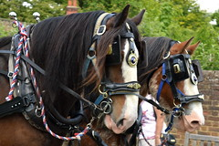 Horses In Harness (dhcomet) Tags: shire horse suffolk heavy equine capel manor clydesdale show competition
