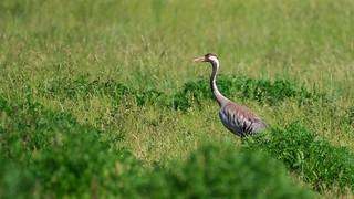 Trane, Crane, Kranich (Grus grus)