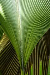 P5086752-L-2000 (Herminio Photography) Tags: nature leaf palmtree plant tropicalclimate greencolor closeup tree palmleaf backgrounds growth freshness macro summer frond pattern botany lushfoliage forest beautyinnature