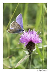 Icarusblauwtje Polyommatus Icarus (cornelis1980) Tags: butterfly butterflies vlinders schmetterlink beautiful insects flying critters macro photography image photo foto canon ef 100 mm f28 small things sunny day green purple animal nature colors colours lovely icarus icarii blue