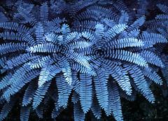 maidenhair fern (marianna_a.) Tags: maidenhair fern spring leaves pattern nature mariannaarmata sliders sunday hss