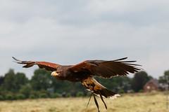 IMG_0910 (TvdMost) Tags: fotografieworkshop harrisshawk parabuteounicinctus valkerijschaap woestijnbuizerd birdofprey roofvogel