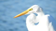 GARÇA - Great Egret (sileneandrade10) Tags: sileneandrade ardeaalba garça garçabranca pássaro ardeidae pelecaniformes garçabrancagrande ave animal nature natureza nikon nikoncoolpixp900 greategret